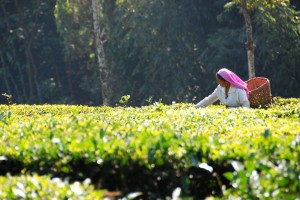 Cultivé en altitude, le thé est de très grande qualité