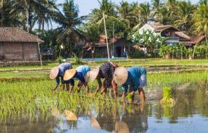 Planteur de riz, Bali, Indonésie - Les Routes du Monde