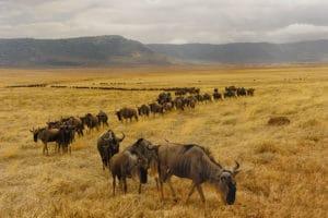 Des Gnous dans le cratère du Ngorogoro, Tanzanie - Les Routes du Monde