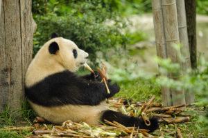Voyage organisé en petit groupe - Chengdu - Panda Géant - Chine - Agence de voyage Les Routes du Monde