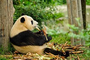 Voyage organisé en petit groupe - Chengdu - Chine - Agence de voyage Les Routes du Monde