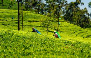 Voyage organisé en petit groupe - Haputale - Sri Lanka - Agence de voyage Les Routes du Monde