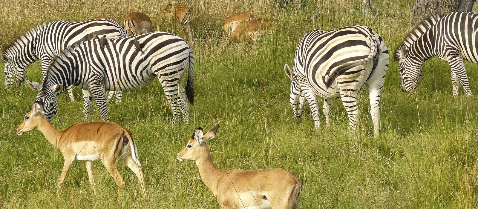 Zèbres à Chobe, Botswana - les Routes du Monde