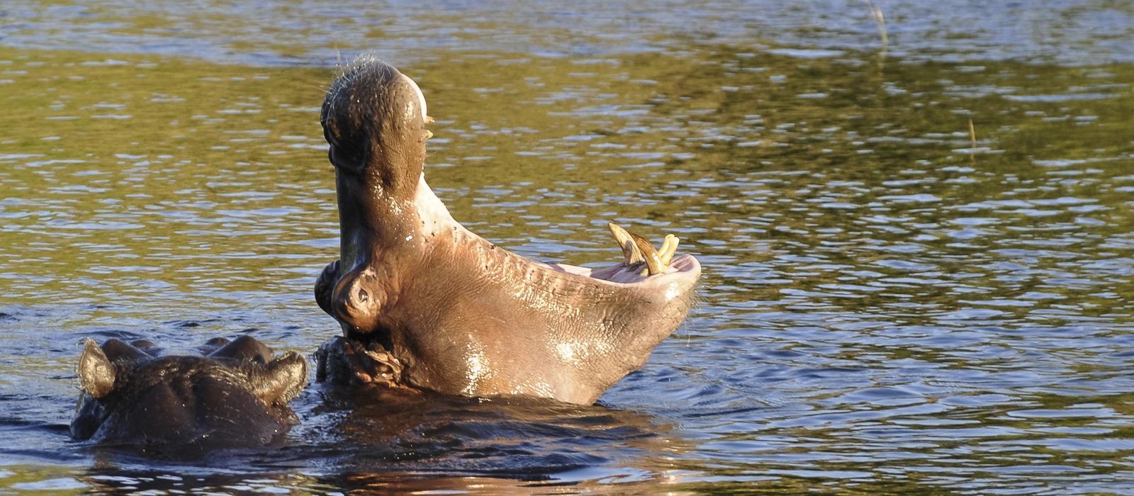 Hippopotame à Chobe, Botswana - les Routes du Monde