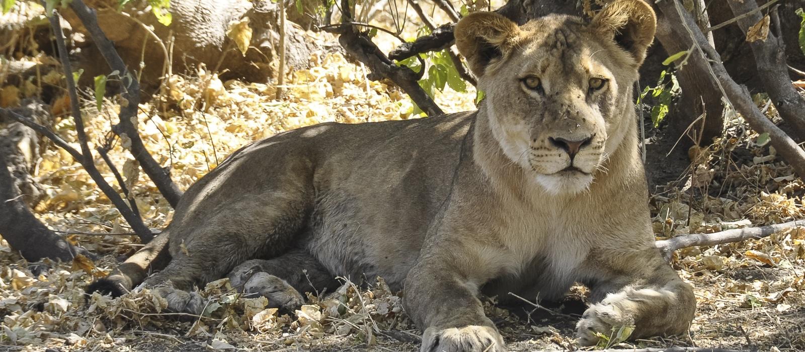 Voyage organisé en petit groupe - Lion à Étosha - Namibie - Agence de voyage Les Routes du Monde