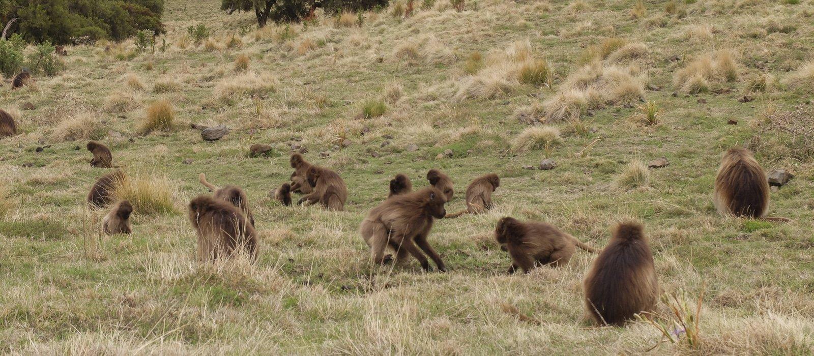 Voyage organisé en petit groupe - baboins gelada - Éthiopie - Agence de voyage Les Routes du Monde