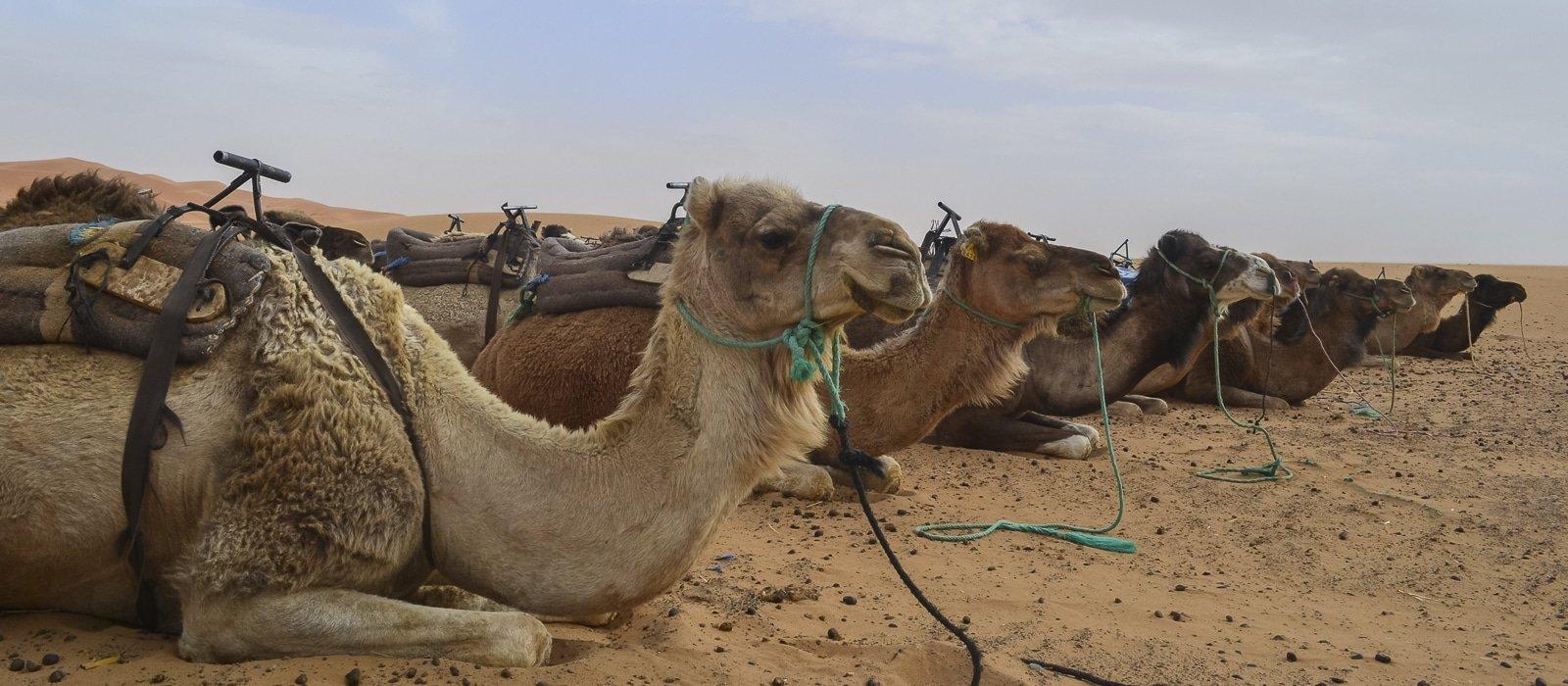 Chameaux dans le désert de Merzouga au Maroc - Les Routes du Monde