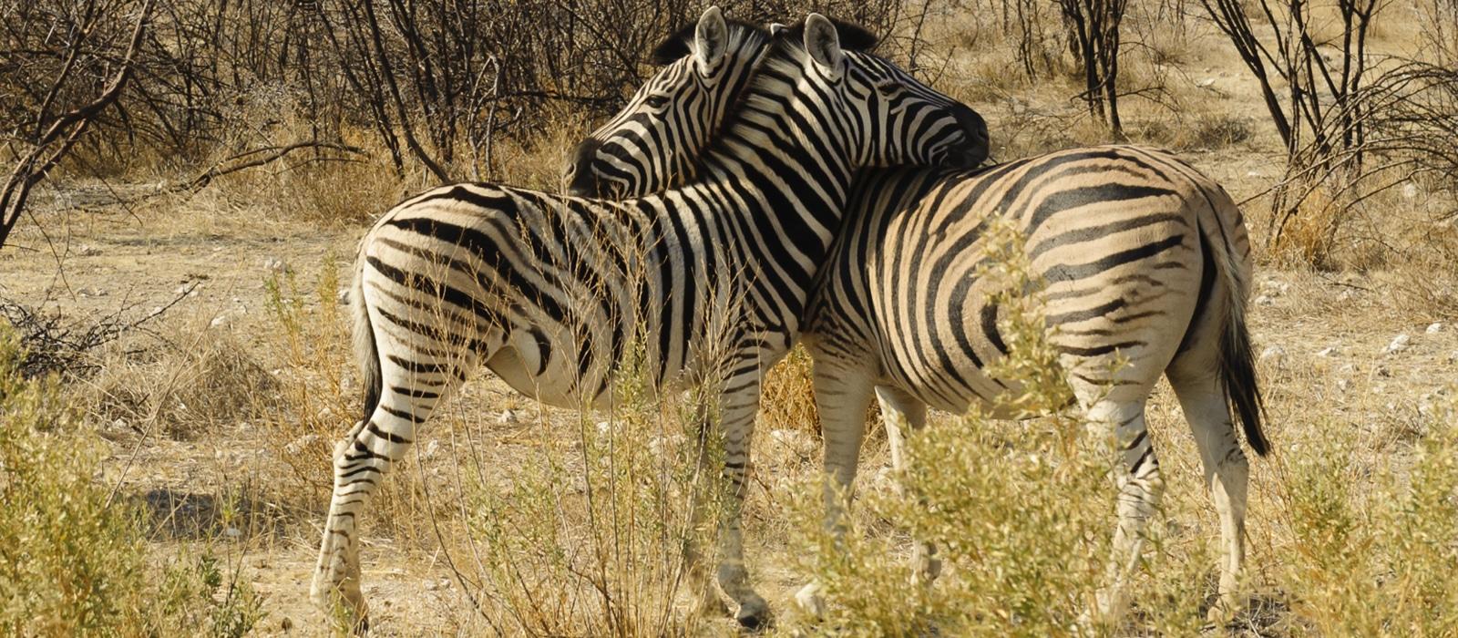 Voyage organisé en petit groupe - Zèbres à Étosha - Namibie - Agence de voyage Les Routes du Monde