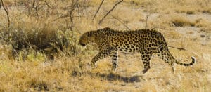 Voyage organisé en petit groupe - Léopard à Étosha - Namibie - Agence de voyage Les Routes du Monde