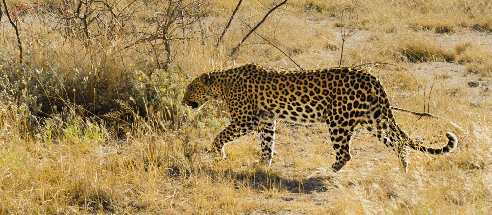 Léopard, Etosha, Himba, Namibie - les Routes du Monde