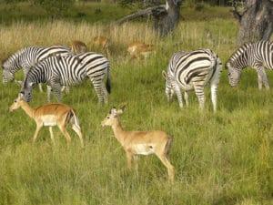 Voyage organisé en petit groupe - Zèbres et antilopes à Chobe - Botswana - Agence de voyage Les Routes du Monde