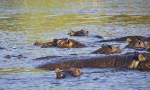 Hippopotame, Chobe, Botswana - les Routes du Monde