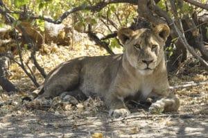 Voyage organisé en petit groupe - Lion à Chobe - Botswana - Agence de voyage Les Routes du Monde