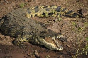 Voyage organisé en petit groupe - Crocodile à Chobe - Botswana - Agence de voyage Les Routes du Monde