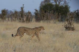 Voyage organisé en petit groupe - Guépard à Étosha - Namibie - Agence de voyage Les Routes du Monde