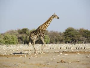 Voyage organisé en petit groupe - Giraffe à Étosha - Namibie - Agence de voyage Les Routes du Monde