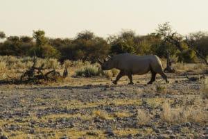 Voyage organisé en petit groupe - Rhinoceros à Étosha - Namibie - Agence de voyage Les Routes du Monde