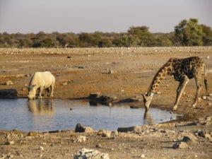 Voyage organisé en petit groupe - Giraffe et rhinoceros à Étosha - Namibie - Agence de voyage Les Routes du Monde