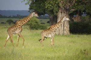 Voyage organisé en petit groupe - baobab et girafes - Tanzanie - Agence de voyage Les Routes du Monde