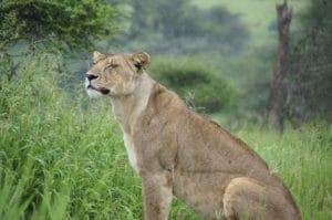 Voyage organisé en petit groupe - Parc Ngorongoro lion - Tanzanie - Agence de voyage Les Routes du Monde