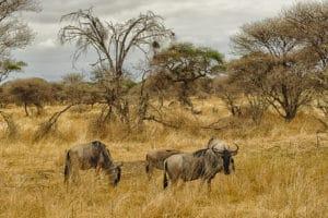 Voyage organisé en petit groupe - Parc Serengeti gnous - Tanzanie - Agence de voyage Les Routes du Monde