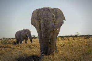 Éléphants à Étosha, Namibie - les Routes du Monde