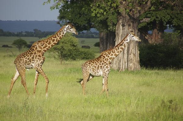Voyage organisé en petit groupe - Parc Tarangire girafes - Tanzanie - Agence de voyage Les Routes du Monde