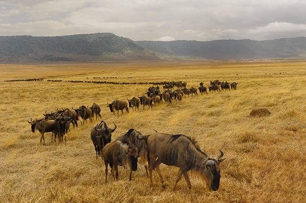 Voyage organisé en petit groupe - migration gnous Serengeti - Tanzanie - Agence de voyage Les Routes du Monde